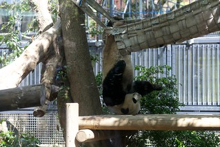 パンダのシンシン 2013 04 04