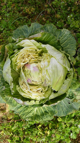 Who Ate the Cabbage Last Night?