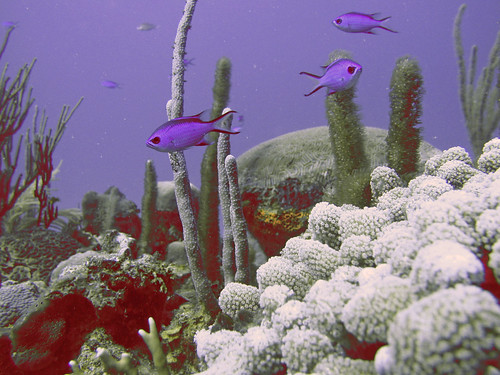 Shade-grown coffee helps protect water quality and coral reefs like this one in Puerto Rico. NOAA photo.