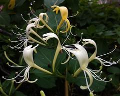 honeysuckle, erythronium, flower, plant, flora, dipsacales,