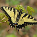 Tiger swallowtail - just emerged in the woods - NEW by Vicki's Nature