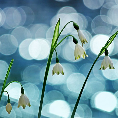White bells on a pond by tanakawho