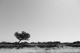 841 Méter hosszú strand képe. blackandwhite bw tree beach portugal monochrome pinetree pine lisboa lisbon singletree bleached alcochete sãofrancisco samouco 24105mm ef24105mmf4 lr4 isolatedtree canoneos5dmarkiii 5d3 setubaldistrict lightroom4
