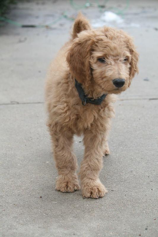 Adam Levine's Puppy