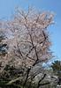 Photo:Sakura / 桜(さくら) By TANAKA Juuyoh (田中十洋)