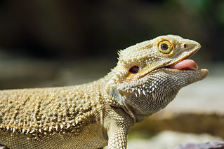 Bearded dragon showing tongue