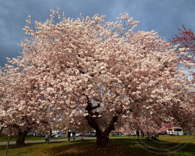 Essex County Cherry Blossom Festival, Branch Brook Park, New Jersey ...