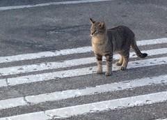 Stray cat, McDonald's Chincoteague parking lot