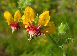 Loasa tricolor ssp. placei