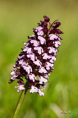 Orchidée sauvage - Photo of Montégut-Bourjac