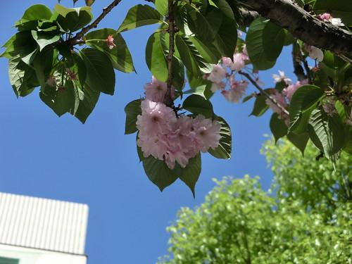 八重桜の残り