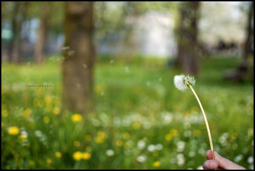 verde primavera fiori prato vento leggerezza fiorito soffione dentedileone soffio esprimiundesiderio