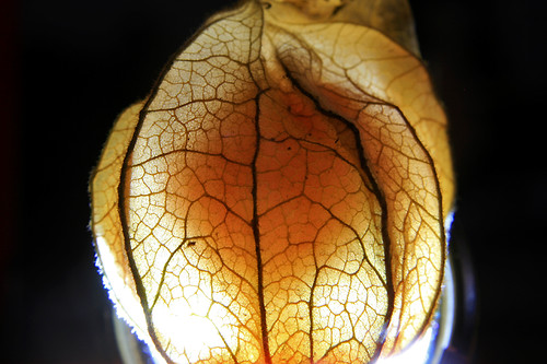 illuminate physalis