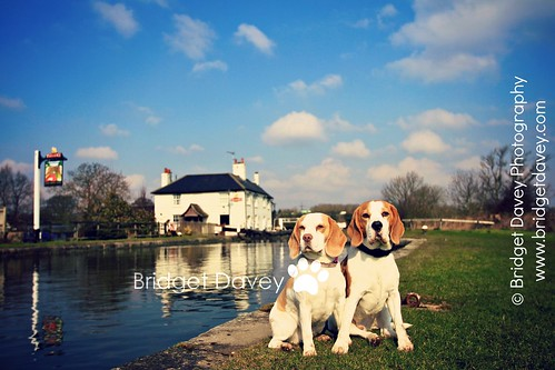 The Beagles | Pet Photography Leighton Buzzard