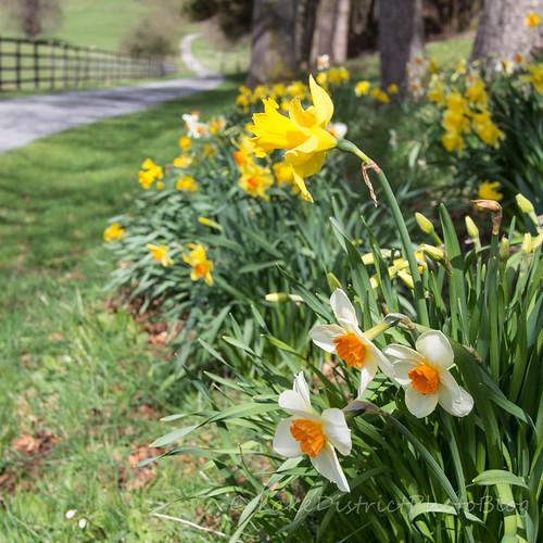 水仙の咲く春の小径