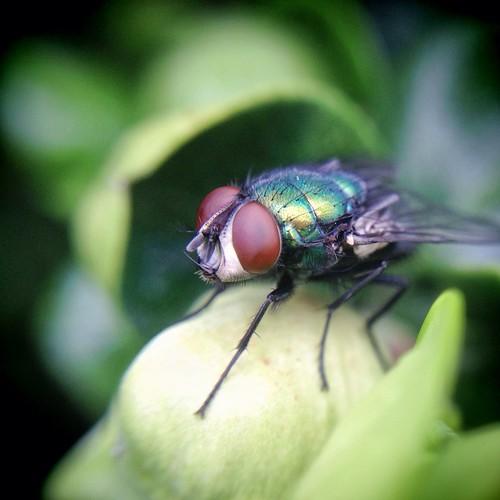 iphone macro fly