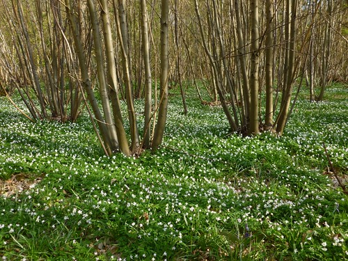Wood anemones just after Fordwich