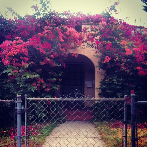 bougainvillea blowout