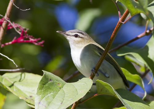 vireoolivaceus redeyedvireo bird fallmigration bigrockforestpreserve