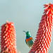 Miombo Double-collared Sunbird, Cinnyris manoensis, Matopos National Park, Zimbabwe by Jeremy Smith Photography