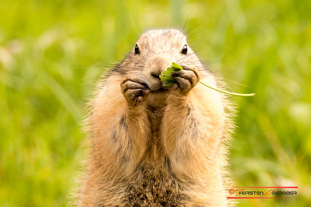 Black-tailed-prairie-dog (Cynomys ludovicianus)