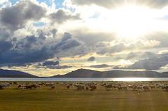 Mongolei-Reise. Steinadler.