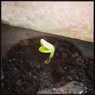 Oh hai smiley faced yellow zucchini seedling!