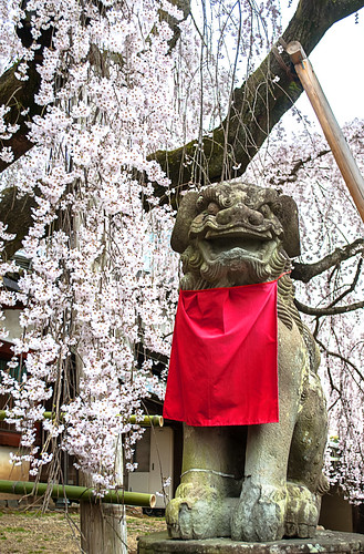 Sakura at Himuro Shrine in Nara