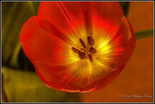 flowers nature beauty design tulip vigilantphotographersunite vpu2 vpu3 vpu4 vpu5 vpu6 vpu7 vpu8 vpu9 vpu10