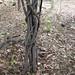 Garden Inventory: Clytostoma callistegioides - 09