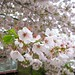 cherry blossoms april 7