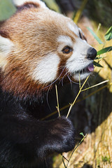 Cute red panda eating