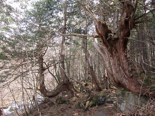 原生林の杉の古木 2013年4月10日10:54 by Poran111