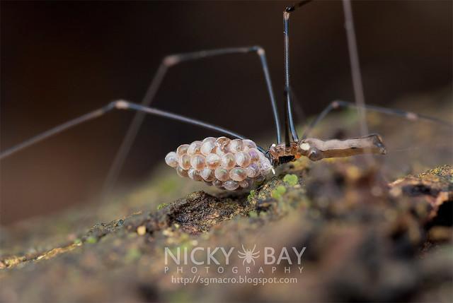 Daddy Long Legs Spider (Uthina luzonica) - ESC_0062