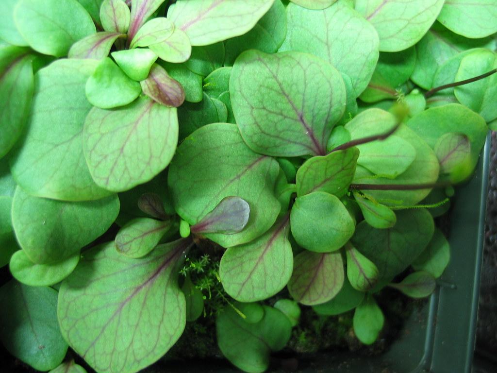 Utricularia calycifida 8642651815_a53cb1e8bc_b