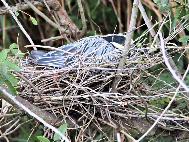 Yellow-crowned Night-Heron incubating nest 22 HT 20130416