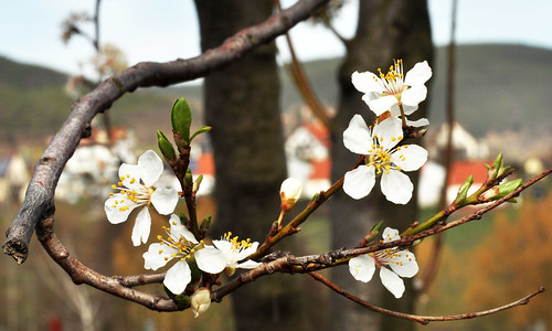 Mandelblüte 2013 in der Pfalz