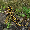 Fire Salamander (Salamandra salamandra)