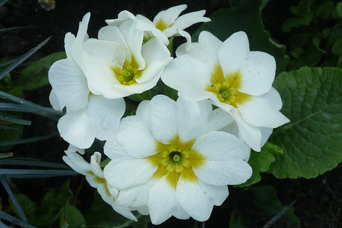 White Primulas by john47kent