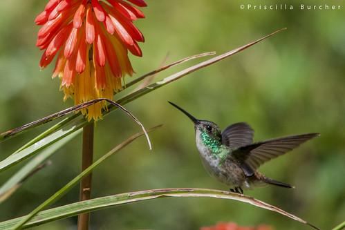 Amazilia franciae -male- (Andean Emerald/Esmeralda andina)
