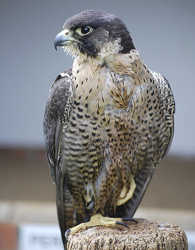 Peregrine Falcon. by Jamo224