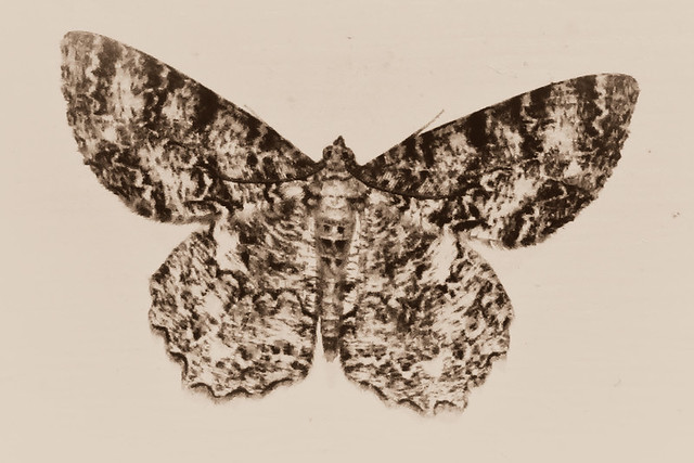 105.365 {Moth}