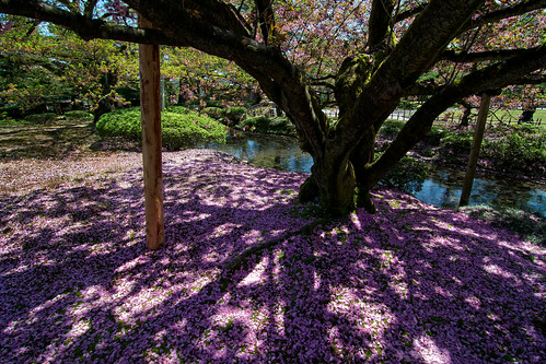 park pink blue tree green water japan river garden cherry japanese petals spring blossom branches shade bloom 桜 日本 sakura kanazawa blooming ishikawa 兼六園 金沢 花見 石川県 ishikawaken 花吹雪
