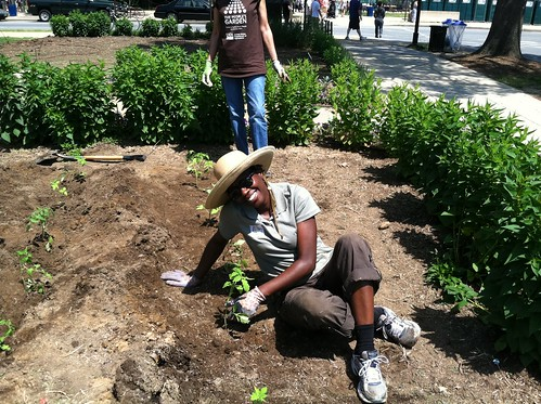 Volunteers planted an heirloom variety of tomato called 'Abraham Lincoln' in People's Garden throughout the world to celebrate USDA's 150th Anniversary in 2012. More than 11,800 pounds of Lincoln Tomatoes were harvested and donated to food banks.