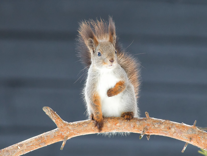 Northern Red Squirrel