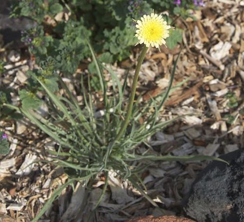 Silver Puffs Flower