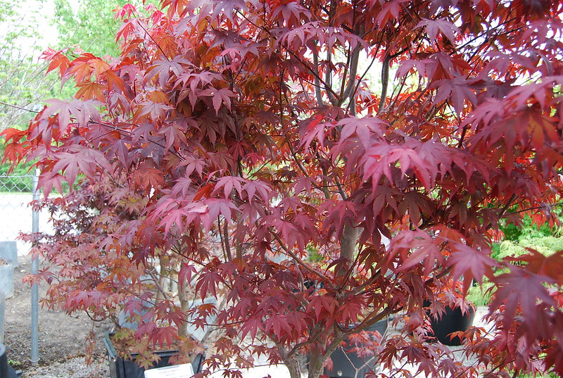 MAPLE JAPANESE FIREGLOW