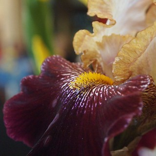 Iris | A Gardener's Notebook with Douglas E. Welch