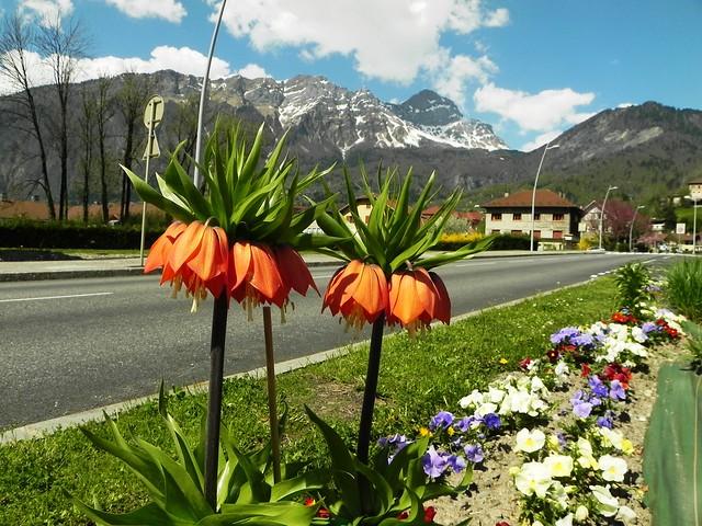 Fritillaire ou Couronne impériale = Fritillaria imperialis