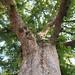 Garden Inventory: Chinese Elm (Ulmus parvifolia) - 10
